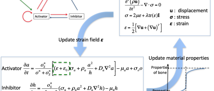 Coupled Reaction Diffusion Strain Model